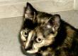 Adoptar al Gato Saphira